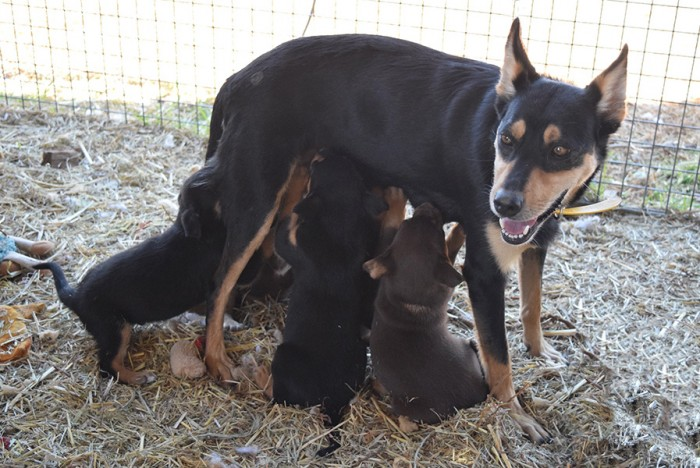 Puppies for sale : Karmala – Australian Working Kelpie Stud