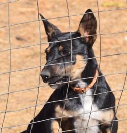Puppies for sale : Karmala – Australian Working Kelpie Stud
