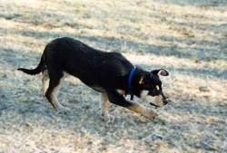Karrawarra Gift IV as a pup