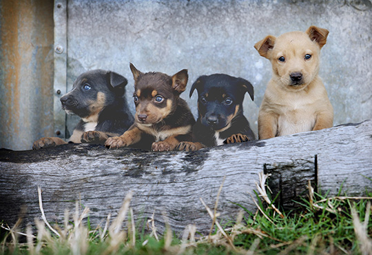 5-week-old Karmala Kelpies at Nobby. Pics Tara Croser.